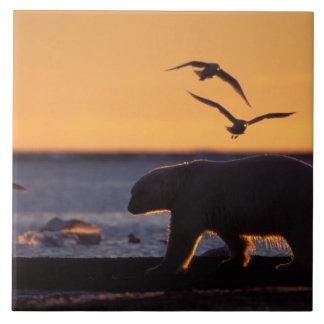 Oso polar en la salida del sol con glauco-ido vola azulejo cuadrado grande