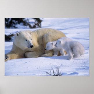 Oso polar femenino que se acuesta con 2 coyscubs posters