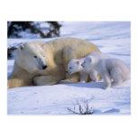 Oso polar femenino que se acuesta con 2 coyscubs postal