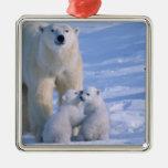 Oso polar femenino que se coloca con 2 Cubs en ell Ornato