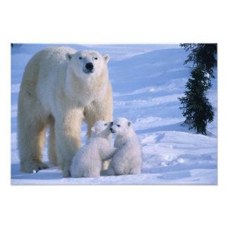Oso polar femenino que se coloca con 2 Cubs en ell Cojinete