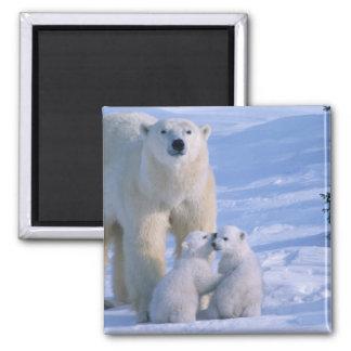 Oso polar femenino que se coloca con 2 Cubs en ell Imán Cuadrado