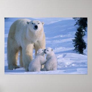 Oso polar femenino que se coloca con 2 Cubs en ell Impresiones