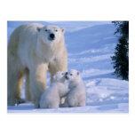 Oso polar femenino que se coloca con 2 Cubs en Postal