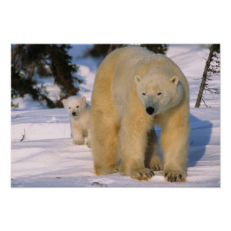 Oso polar femenino que se coloca con un cachorro o posters
