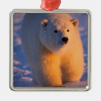 oso polar maritimus del Ursus cachorro en el paq Adornos