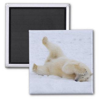 oso polar, maritimus del Ursus, cachorro que rueda Imán Cuadrado