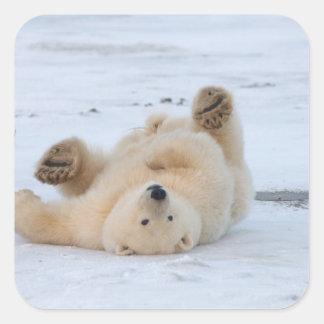 oso polar, maritimus del Ursus, cachorro que rueda Calcomanías Cuadradass