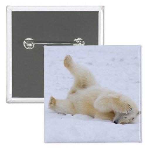 oso polar, maritimus del Ursus, cachorro que rueda Pin