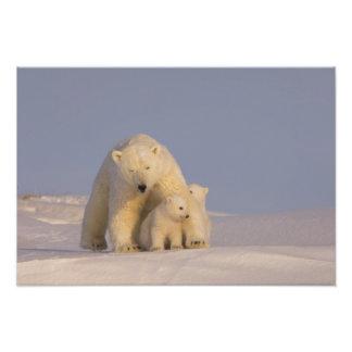oso polar, maritimus del Ursus, cerda con 2 recién Impresiones Fotograficas