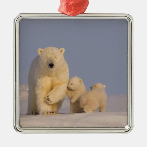 oso polar, maritimus del Ursus, cerda con 3 recién Adorno De Navidad