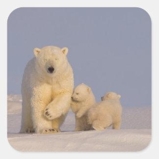 oso polar, maritimus del Ursus, cerda con 3 recién Pegatina Cuadradas Personalizada