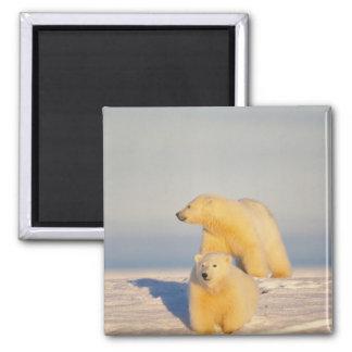 oso polar, maritimus del Ursus, cerda con el cacho Imán Cuadrado