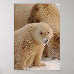 oso polar, maritimus del Ursus, cerda con el cacho Posters