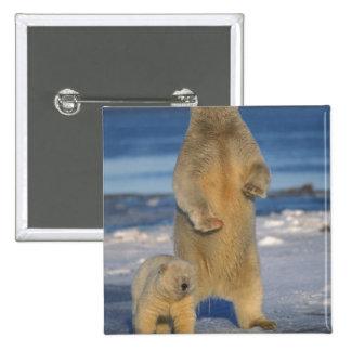 oso polar, maritimus del Ursus, cerda con el cacho Pin Cuadrada 5 Cm