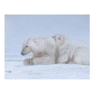 oso polar, maritimus del Ursus, cerda con el Postales