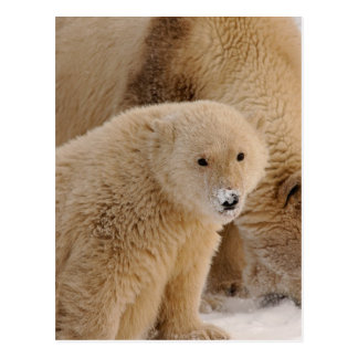 oso polar, maritimus del Ursus, cerda con el Postal