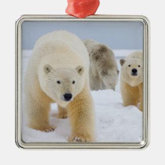 oso polar maritimus del Ursus cerda con los cach Ornamentos De Reyes Magos