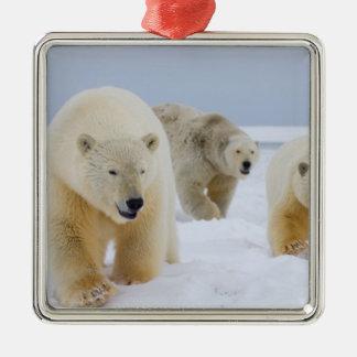 oso polar maritimus del Ursus cerda con los cach Ornamente De Reyes