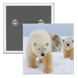oso polar, maritimus del Ursus, cerda con los cach Pins