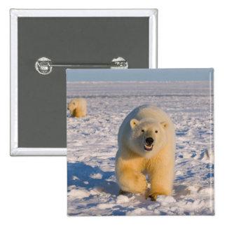 oso polar, maritimus del Ursus, cerda con los cach Pin Cuadrada 5 Cm
