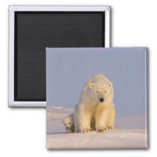 oso polar, maritimus del Ursus, cerda con recién n Imán Cuadrado