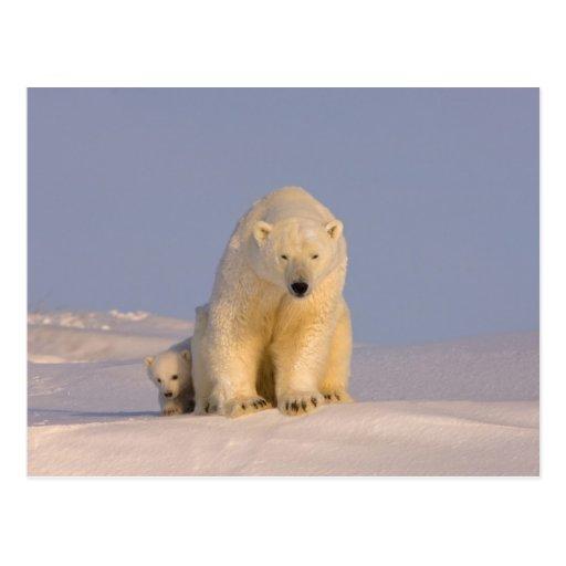 oso polar, maritimus del Ursus, cerda con recién n Postales