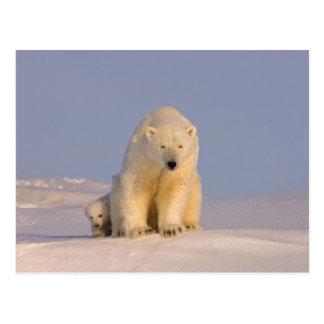 oso polar, maritimus del Ursus, cerda con recién Tarjetas Postales