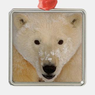 oso polar maritimus del Ursus cierre para arriba Ornamentos De Navidad