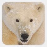 oso polar, maritimus del Ursus, cierre para arriba Pegatina Cuadrada