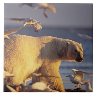 oso polar, maritimus del Ursus, con Azulejo Cuadrado Grande