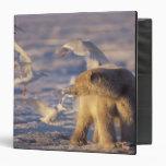 """oso polar, maritimus del Ursus, con Carpeta 1 1/2"""""""