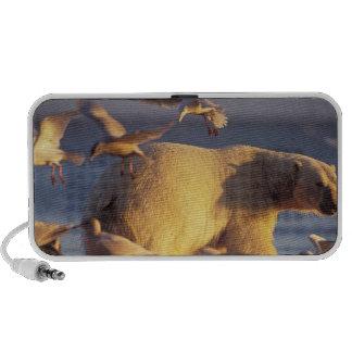 oso polar, maritimus del Ursus, con Laptop Altavoz