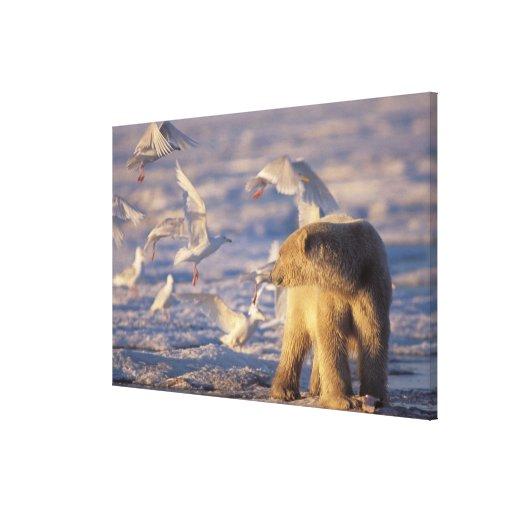 oso polar, maritimus del Ursus, con Lona Estirada Galerías