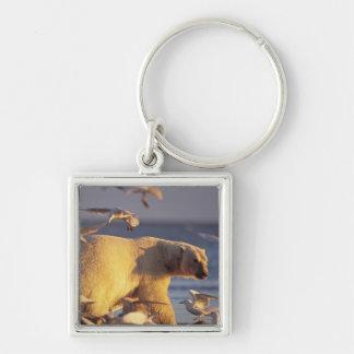oso polar, maritimus del Ursus, con Llavero Cuadrado Plateado