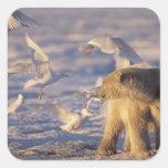 oso polar, maritimus del Ursus, con Pegatina Cuadrada