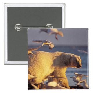 oso polar, maritimus del Ursus, con Pin Cuadrado