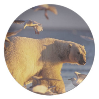 oso polar, maritimus del Ursus, con Plato De Comida