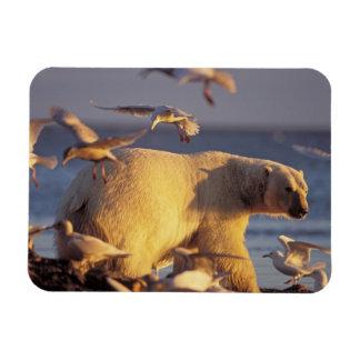 oso polar, maritimus del Ursus, con Rectangle Magnet