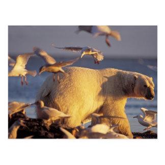 oso polar, maritimus del Ursus, con Tarjeta Postal