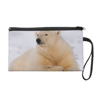 oso polar maritimus del Ursus descansando sobre
