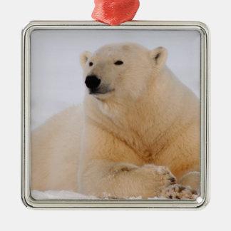 oso polar maritimus del Ursus descansando sobre Adornos