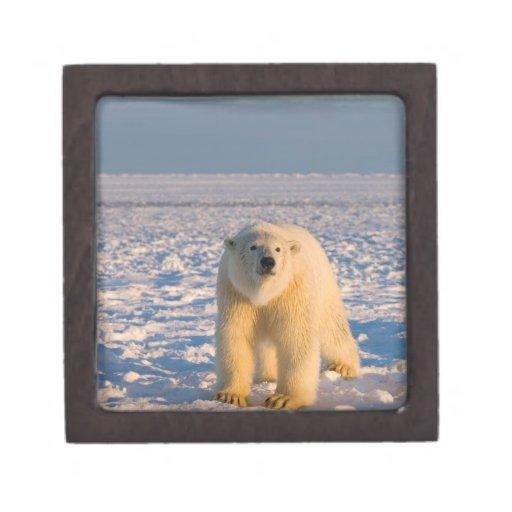 oso polar, maritimus del Ursus, en el hielo y la n Caja De Recuerdo De Calidad