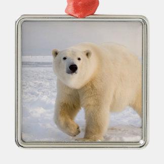 oso polar maritimus del Ursus en el hielo y la n Ornamentos De Navidad