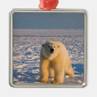 oso polar maritimus del Ursus en el hielo y la n Ornamentos Para Reyes Magos