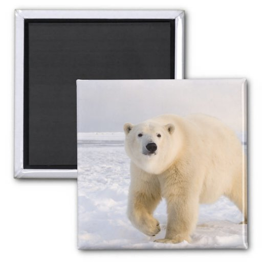 oso polar, maritimus del Ursus, en el hielo y la n Imán De Nevera