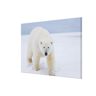 oso polar, maritimus del Ursus, en el hielo y la n Impresiones En Lienzo Estiradas
