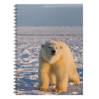 oso polar, maritimus del Ursus, en el hielo y la n Libreta