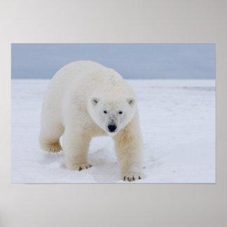 oso polar, maritimus del Ursus, en el hielo y la n Poster