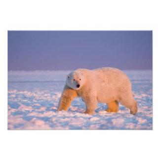 oso polar, maritimus del Ursus, en el hielo y la n Impresion Fotografica